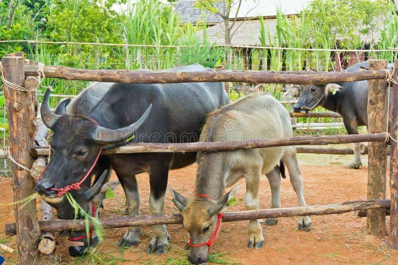 Download Büffel, der Gras isst. stockfoto. Bild von frech, huge - 26365022