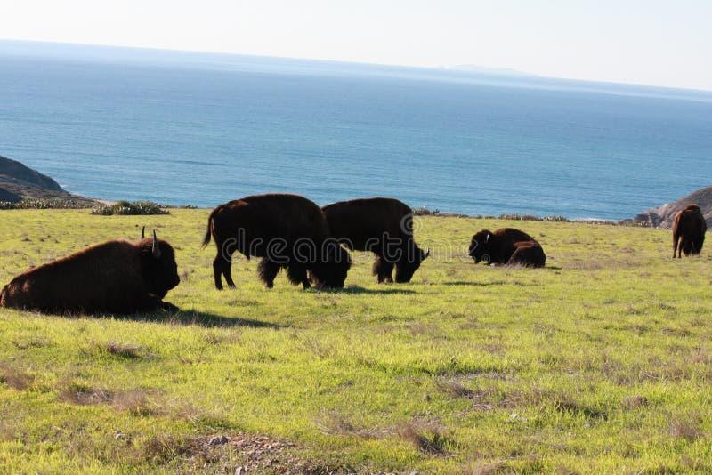 Büffel, der nahe Ozean weiden lässt lizenzfreies stockbild