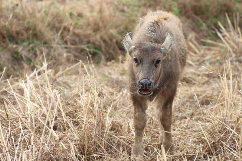 Büffel, der natürliche Nahrungsmittel einzieht stockfotos