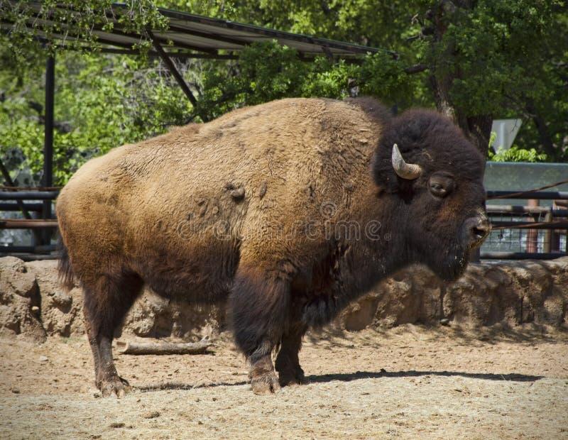 Büffel des amerikanischen Bisons lizenzfreies stockfoto