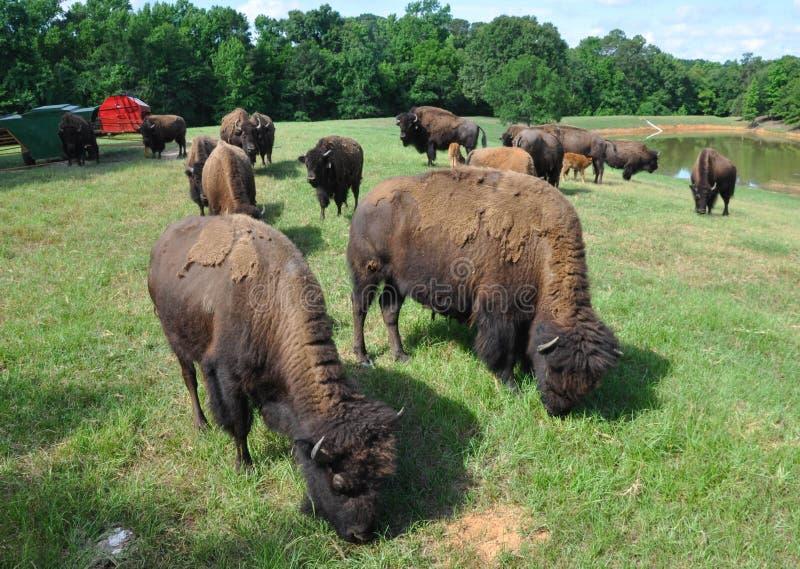 Büffel, die auf einem Gebiet durchstreifen stockbild
