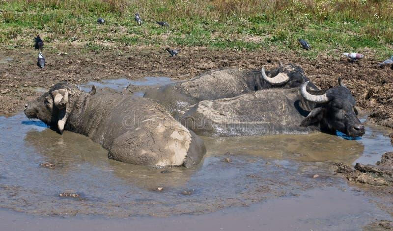 Büffel, die in der Pfütze sich entspannen stockfotografie