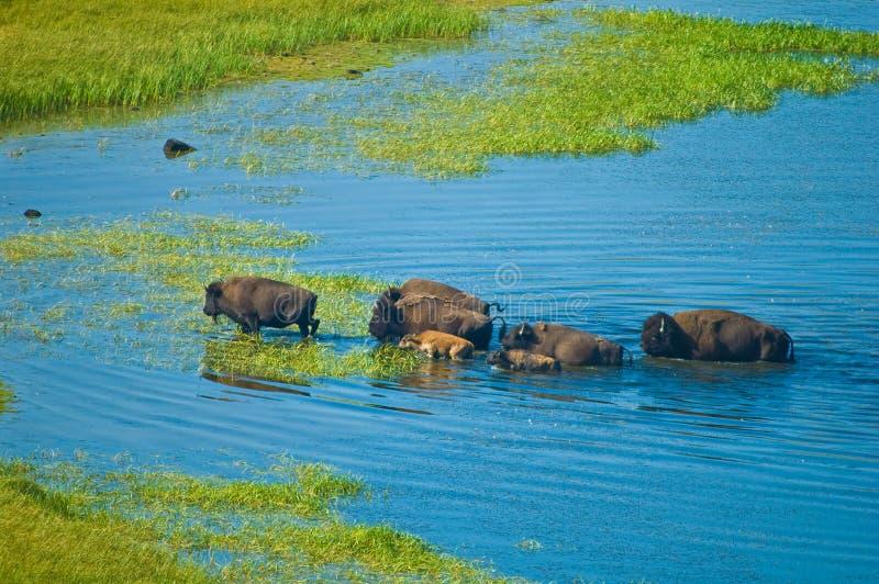 Büffel, die einen Fluss kreuzen lizenzfreie stockbilder