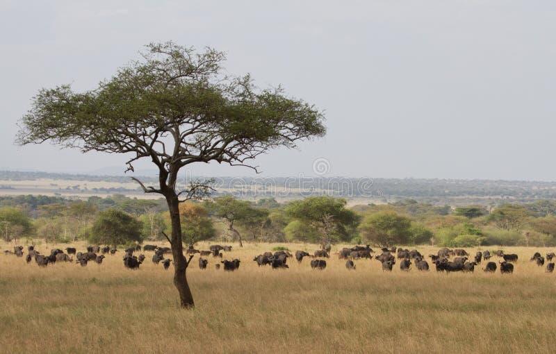 Büffel-Herde im Serengeti stockbild