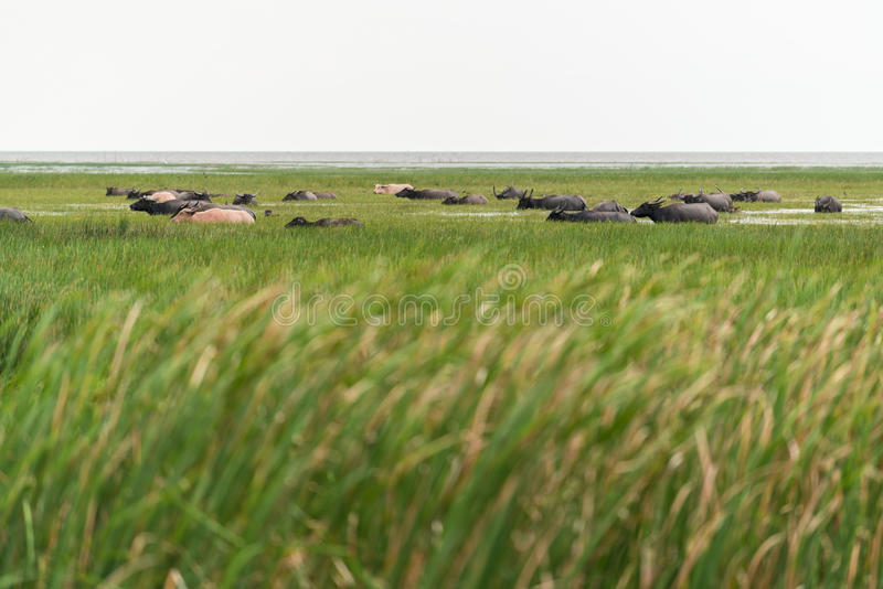 Büffel im See lizenzfreie stockbilder