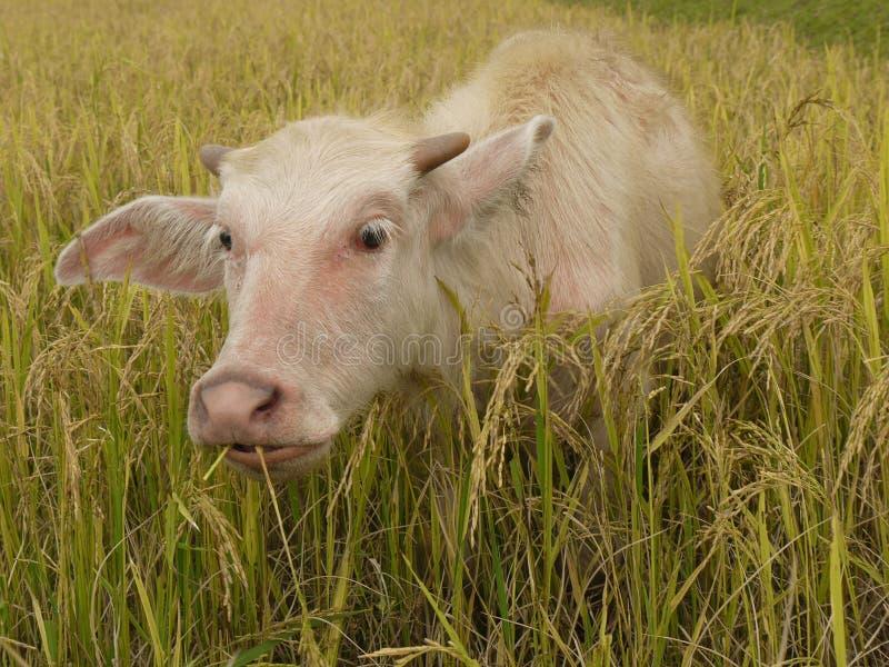 Büffel kalben lizenzfreie stockfotos