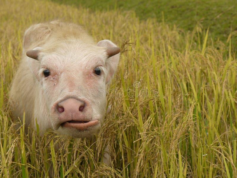 Büffel kalben lizenzfreie stockfotografie