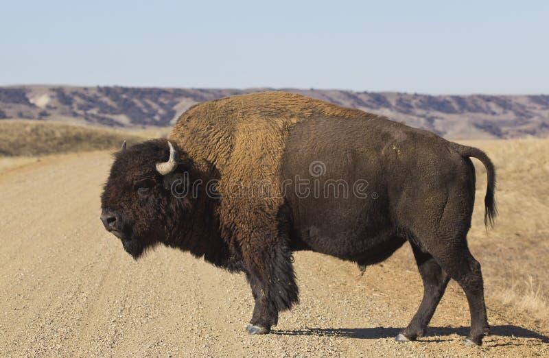 Büffel macht einen Spaziergang in South Dakota lizenzfreies stockfoto