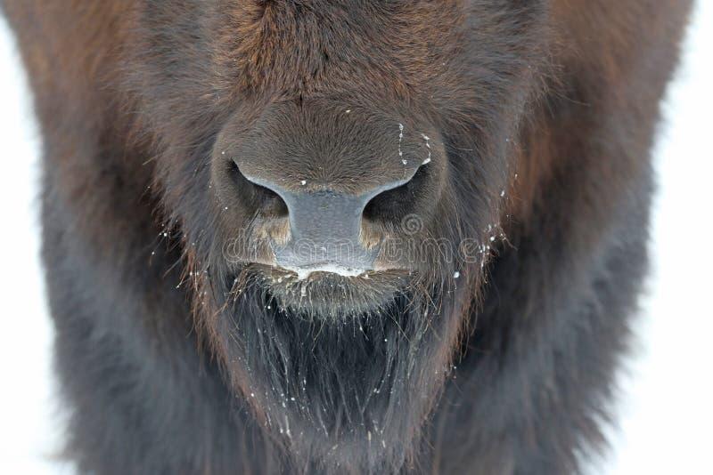 Büffel-Nasenloch stockfotos