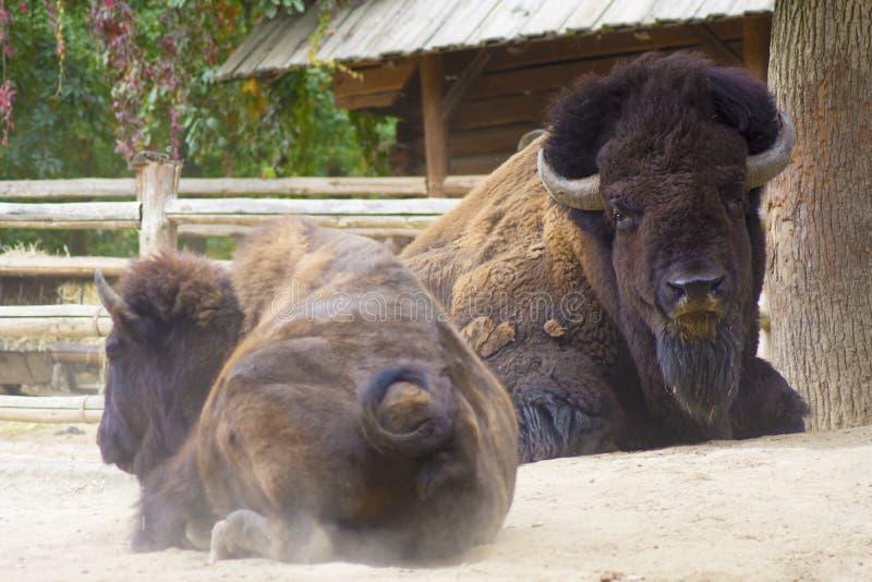 Büffel oder amerikanischer Bison lizenzfreies stockfoto