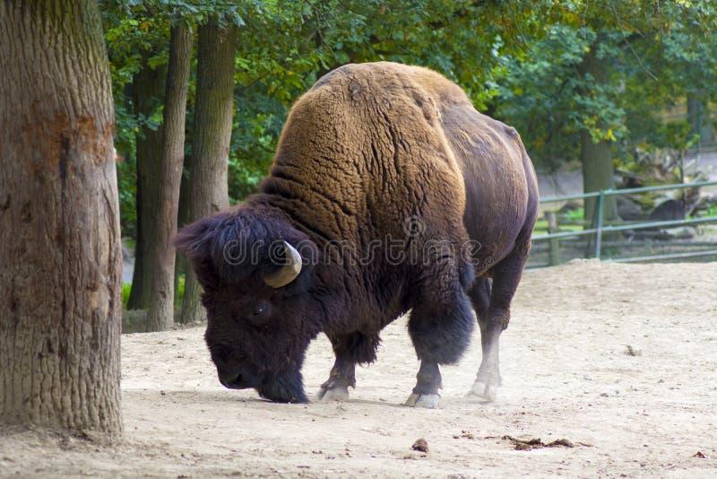 Büffel oder amerikanischer Bison lizenzfreie stockbilder