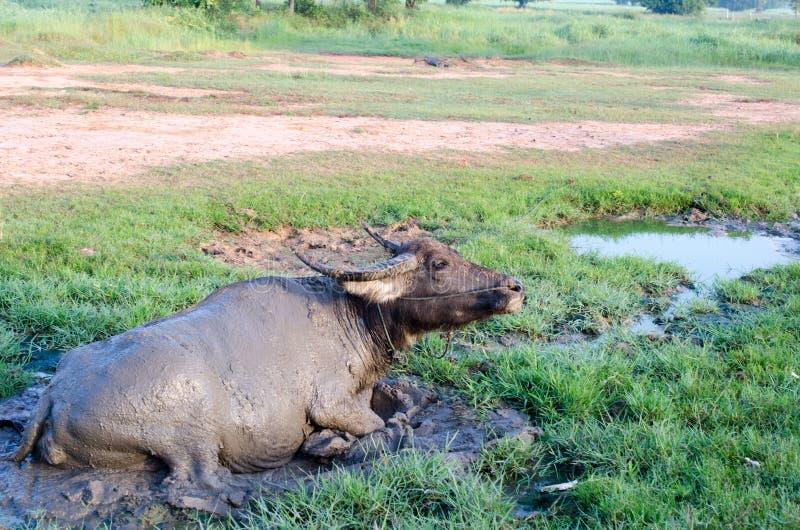 Büffel spielte Schlamm in Thailand stockbild