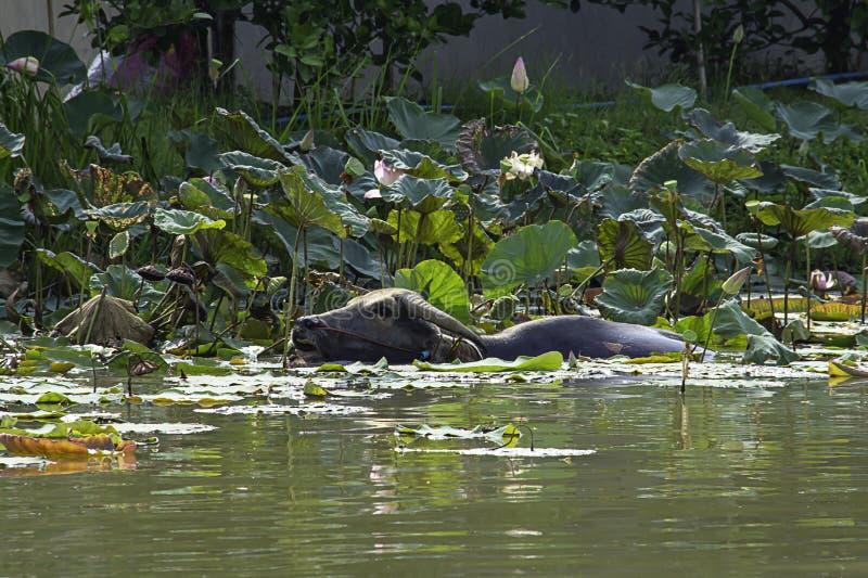 Büffel spielte Wasser innerhalb eines Lotus-Teichs und Essenernten stockfoto