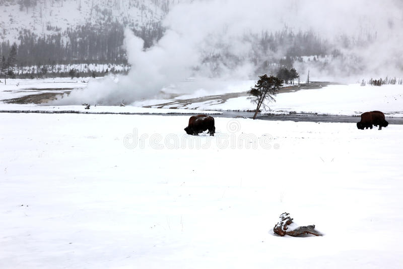 Büffel in Yellowstone NP stockfoto