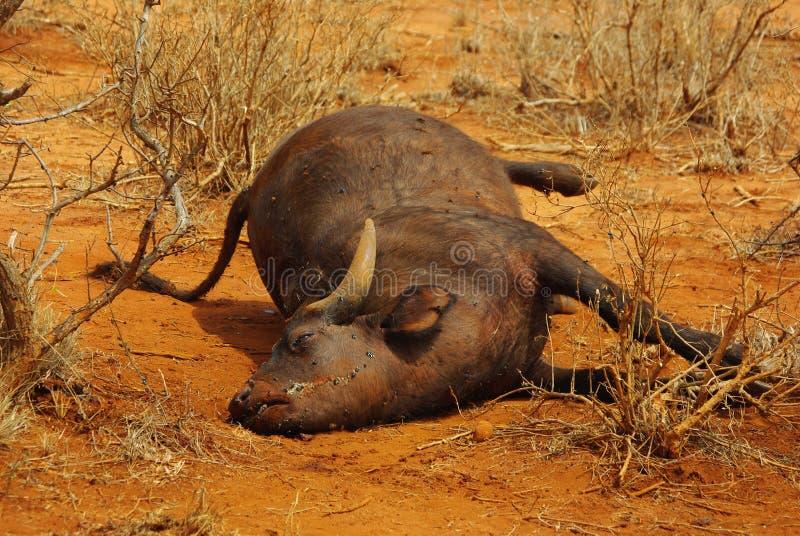Büffelkarkasse lizenzfreie stockbilder