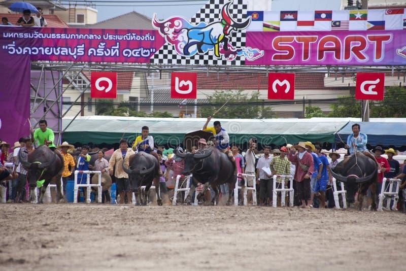 Büffelrennen von Chonburi.  stockbild