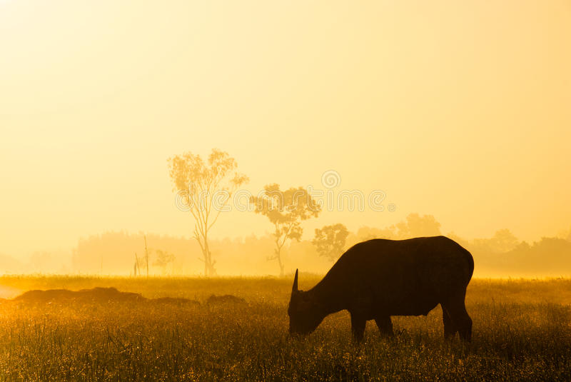 Büffelschattenbild im goldenen Sonnenlicht lizenzfreie stockbilder