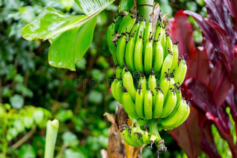 Bündel Bananen Nahe Hana Highway, Maui, Hawaii Stockfoto - Bild von ...