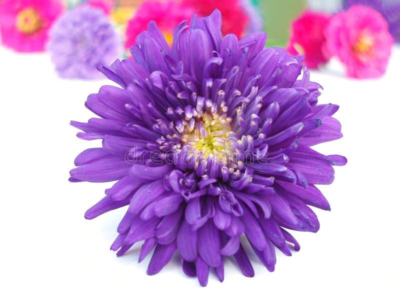 Bündel der Chrysantheme stockbild