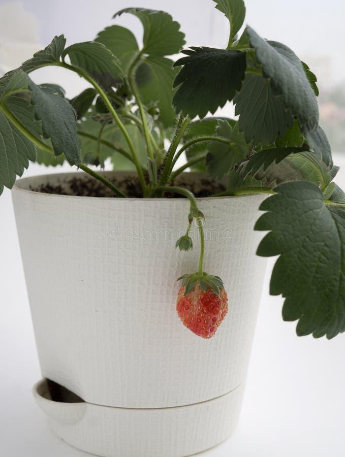 Bündel der Erdbeere wachsend in einem Topf als Hauptanlage lizenzfreie stockfotografie