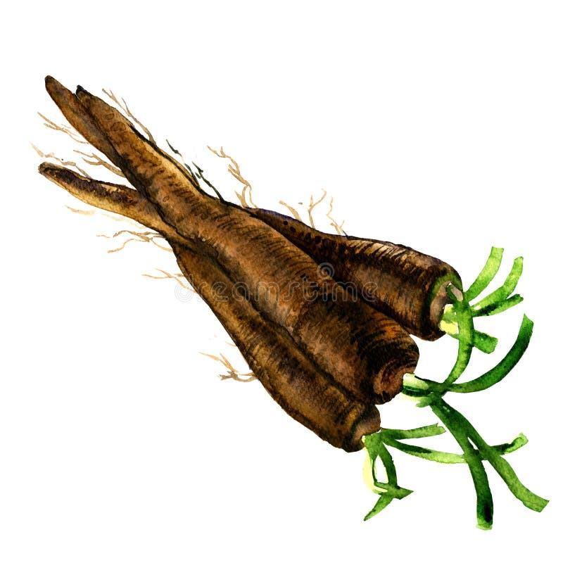 Bündel der frischen rohen organischen Schwarzwurzel, Wurzel, lokalisiert, Aquarellillustration auf Weiß lizenzfreie abbildung