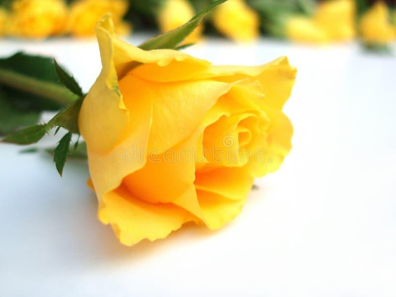Bündel der gelben Rosen â eins Rose einzeln stockbilder