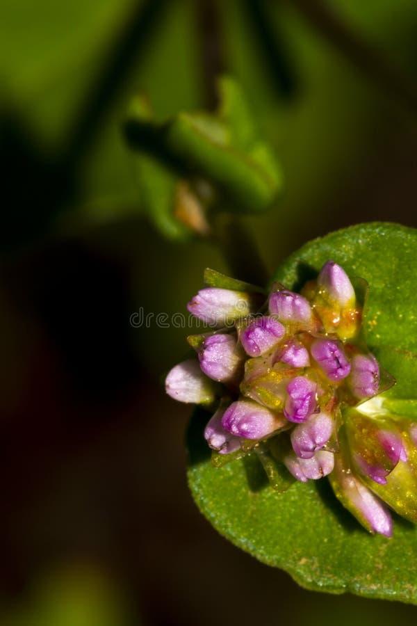 Bündel der kleinen Blumen-Knospe auf dem grünen Blatt stockbilder