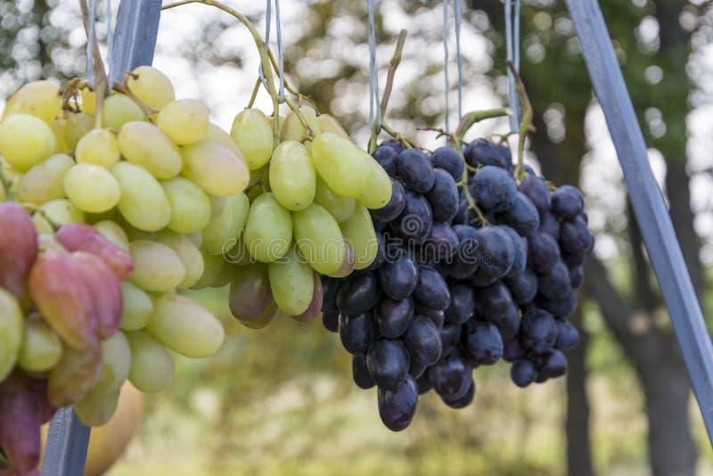 Bündel der reifen grünen Trauben für das Kochen des Weins und des Lebensmittels lizenzfreies stockfoto
