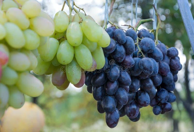 Bündel der reifen grünen Trauben für das Kochen des Weins und des Lebensmittels lizenzfreie stockfotos
