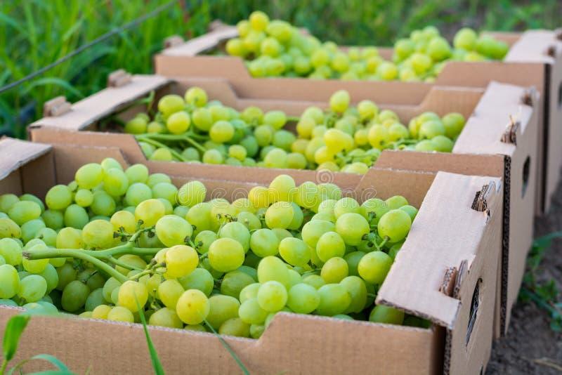 Bündel der reifen grünen Trauben werden in Pappquadratische Kästen für Transport gefaltet stockbilder