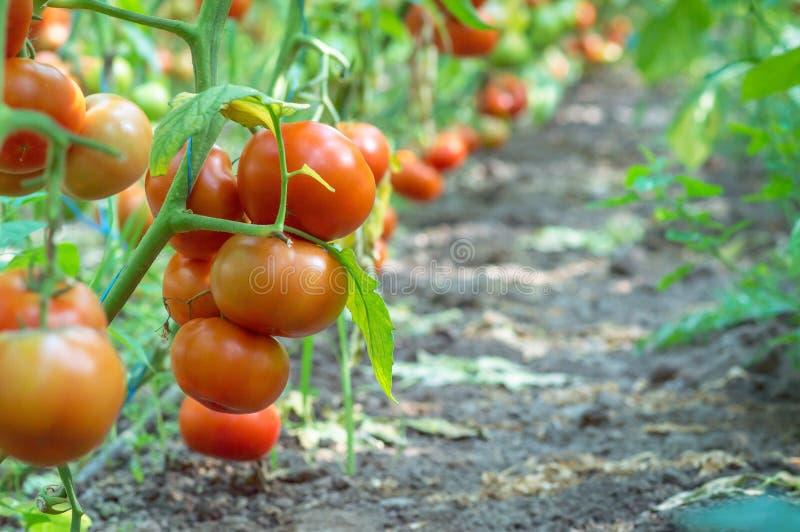 Bündel der reifen Tomaten auf einem Bett in einem Gewächshaus lizenzfreies stockbild