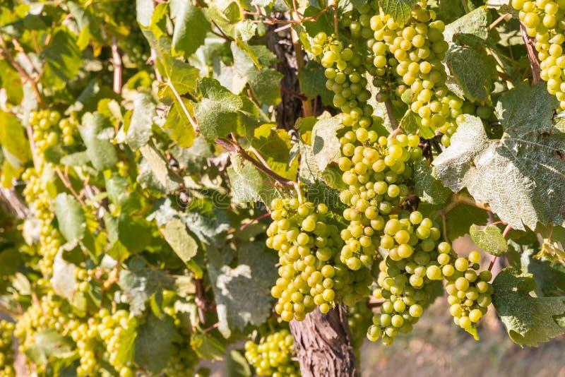 Bündel der reifen Weißweintrauben auf der Rebe stockbilder