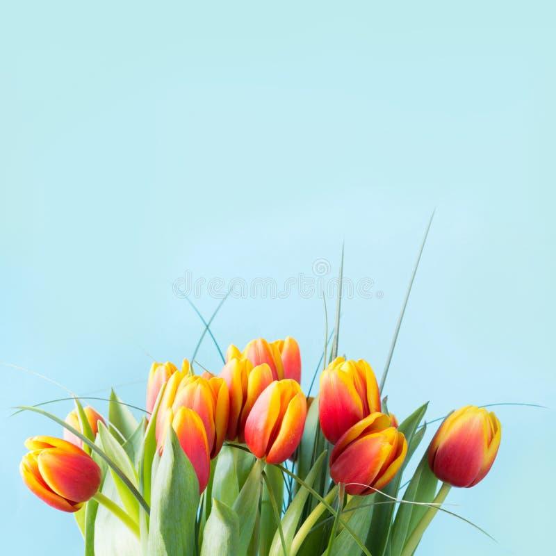 Bündel der roten und gelben Tulpe blüht auf schlagkräftigem blauem Hintergrund junge gelbe Blume gegen weißen Hintergrund lizenzfreies stockbild