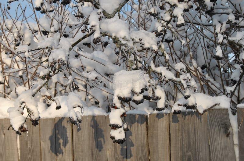Bündel der schwarzen Eberesche der Beeren bedeckt mit flaumigem Schnee in den ländlichen Gebieten auf einem Hintergrund des alten stockfoto