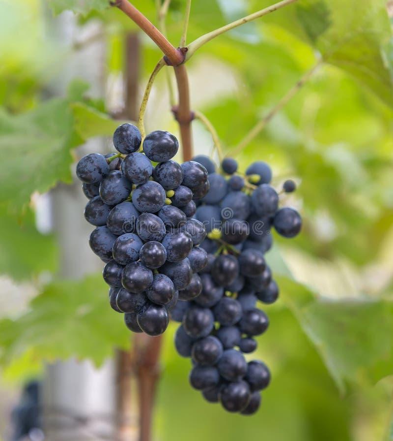 Bündel der schwarzen reifen Trauben wachsen im Garten lizenzfreie stockfotos