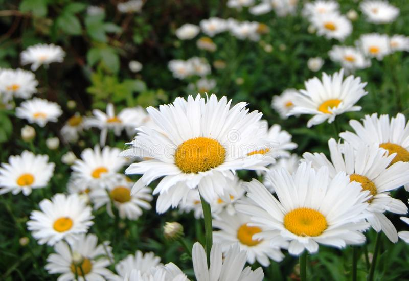 Bündel der weißen Chrysantheme stockfoto