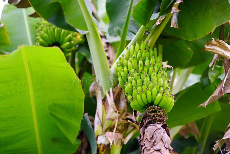 Bündel des Reifens von grünen Apfelbananen auf einer Bananenstaude stockbild