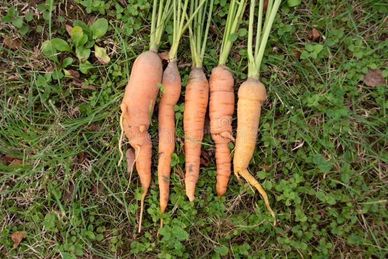 Bündel frische organische Karotten, die auf dem Gras liegen stockfotografie