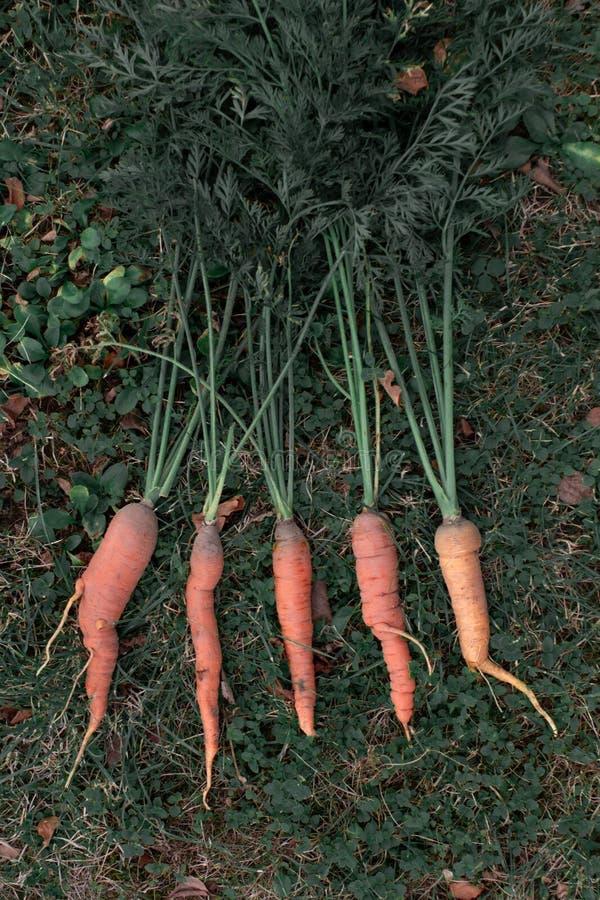 Bündel frische organische Karotten, die auf dem Gras liegen stockbilder