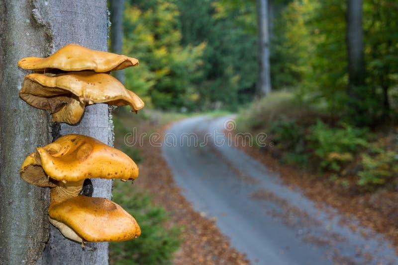 Bündel gelbe Pilze, die vom Buchenbaumstamm wachsen lizenzfreies stockbild