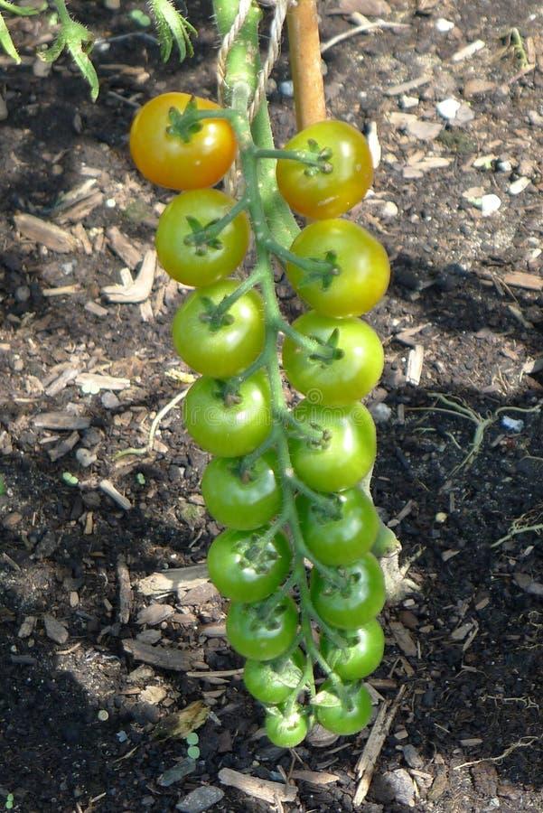 Bündel gelbe und grüne Trauben-Tomaten stockfotos