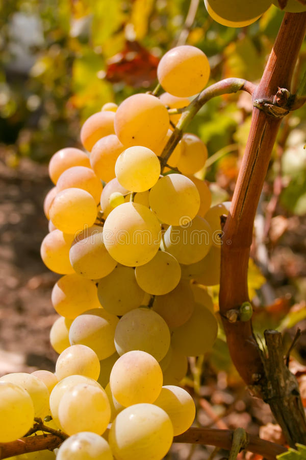 Bündel grüne reife Weintrauben auf der Rebe stockbilder