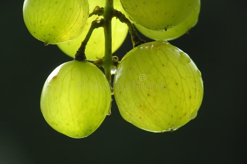 Bündel grüne Trauben lizenzfreie stockfotos