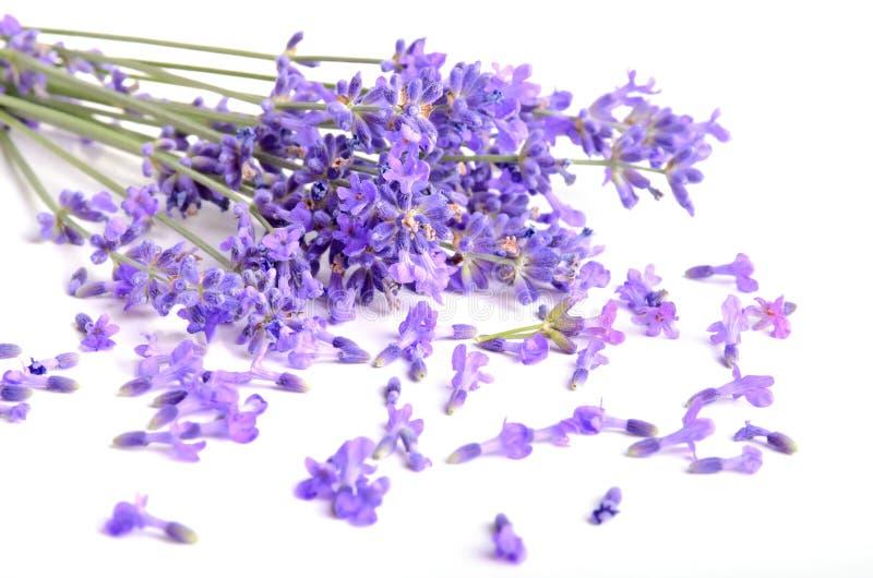 Bündel Lavendel stockbilder