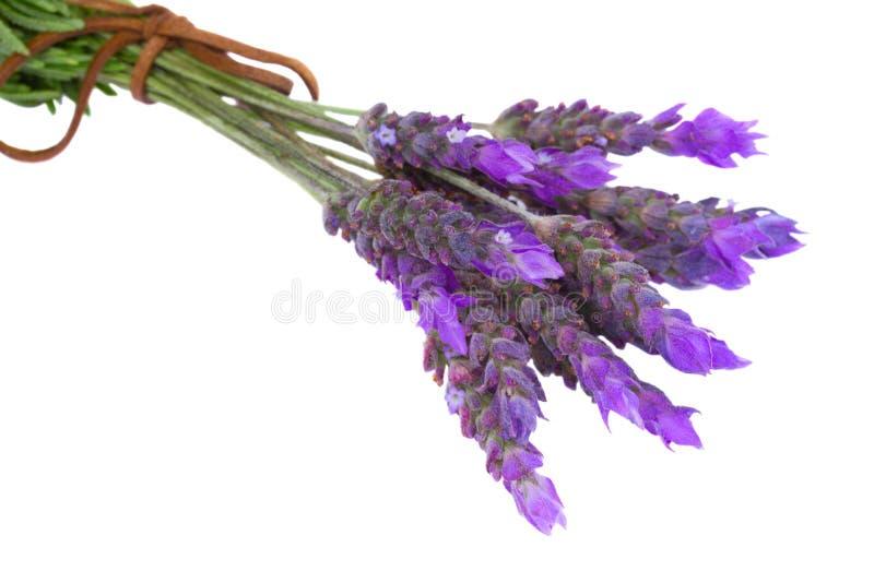 Bündel neuer Lavendelabschluß oben stockbilder
