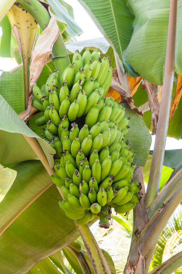Bündel reifende Bananen auf Bananenstaude lizenzfreies stockbild