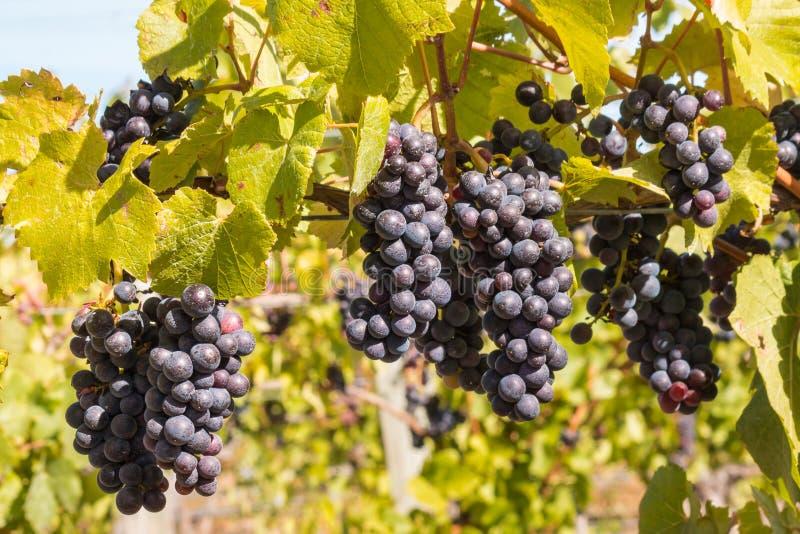Bündel reifer Cabernet Sauvignon-Trauben auf Rebe im Weinberg lizenzfreie stockfotografie