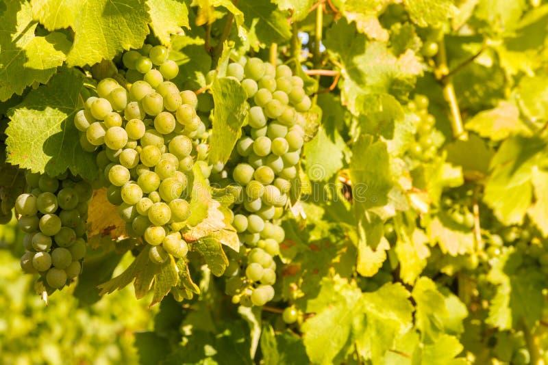 Bündel reifer Chardonnay-Trauben auf Rebe im Weinberg lizenzfreie stockfotografie