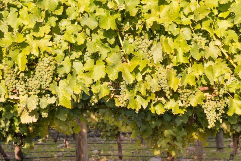 Bündel reifer Sauvignon-blanc Trauben mit Blättern auf Rebe im Weinberg stockbilder