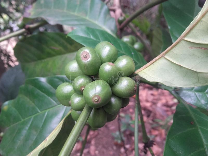 Bündel rohe Samen des Kaffees stockbild